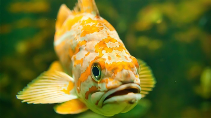 Freshwater Fish-High Quality HD Wallpaper Views:4115 Date:12/24/2014 7:18:34 AM