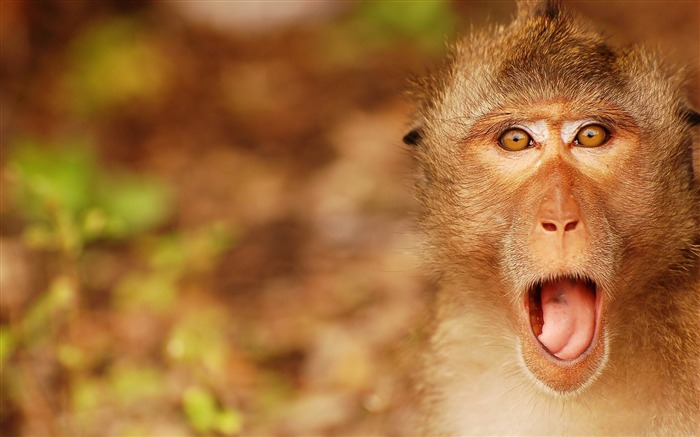 Funny Monkey Face-High Quality HD Wallpaper Views:2847