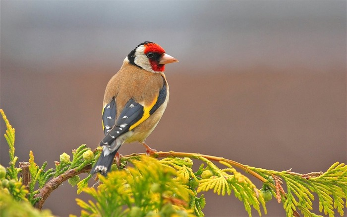 Goldfinch Bird-High Quality HD Wallpaper Views:11563 Date:12/24/2014 7:24:24 AM
