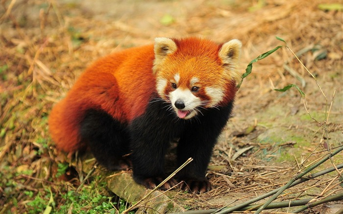Lesser Panda-High Quality HD Wallpaper Views:6078 Date:12/24/2014 7:25:08 AM