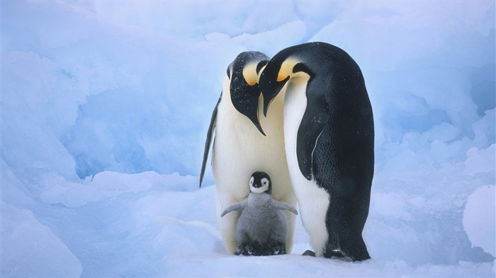 Penguin Family-High Quality HD Wallpaper Views:2207