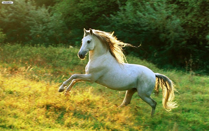 White Horse-High Quality HD Wallpaper Views:5426 Date:12/24/2014 7:30:38 AM