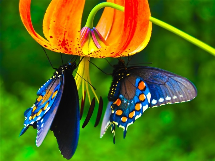 Couple Butterfly On Flower-HD Photo Wallpaper Views:4971