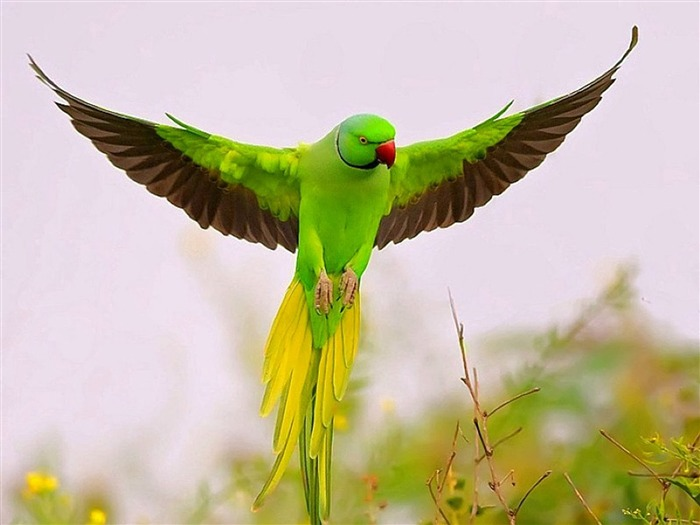Flying Green Parrot-HD Photo Wallpaper Views:3043