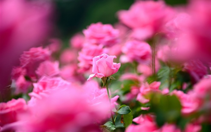 Pink Roses-HD widescreen wallpaper Views:4133 Date:1/23/2015 11:27:23 PM