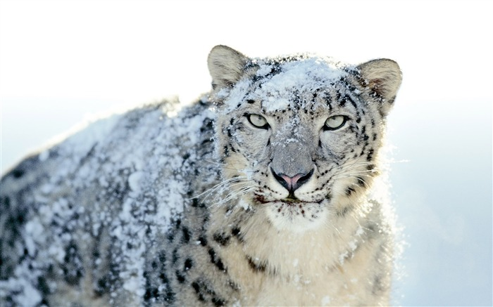 Snow Leopard-HD Photo Wallpapers Views:2100
