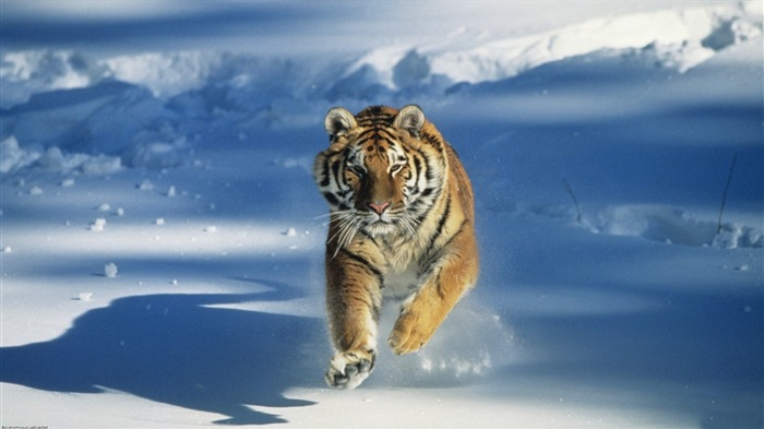 Tiger Running In Snow-Animal Widescreen Wallpaper Views:1740