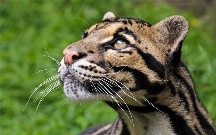 big cat with black lines-HD Photo Wallpaper Views:3335