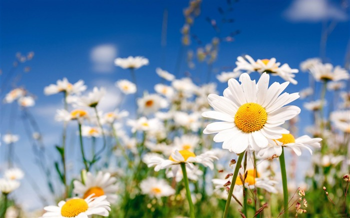 field flowers chamomile-HD widescreen wallpaper Views:12597 Date:1/23/2015 11:21:46 PM