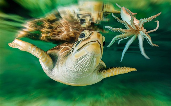 turtle octopus-HD Photo Wallpaper Views:1897