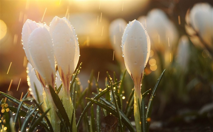 white spring flowers-HD widescreen wallpaper Views:3380 Date:1/23/2015 11:33:30 PM