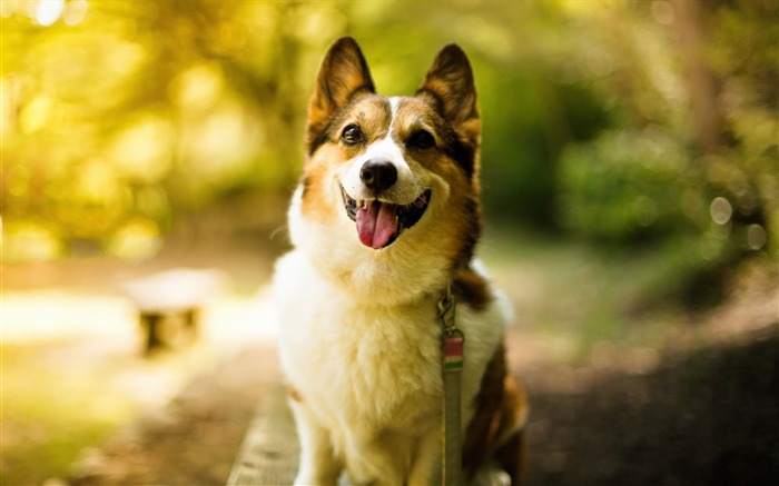 Cute Pet Dogs Corgi Photography HD Wallpaper Views:7468