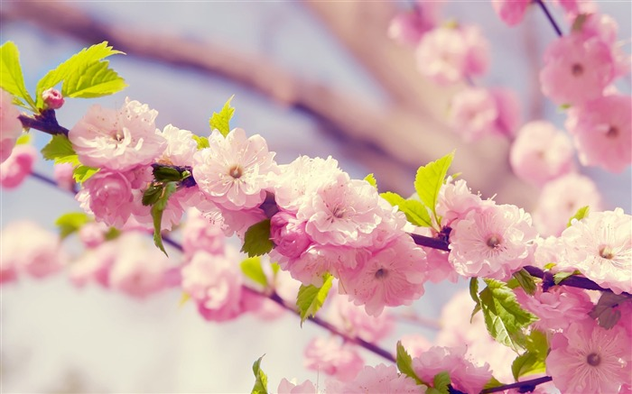 Spring beautiful Sakura photography HD Wallpaper Views:7616