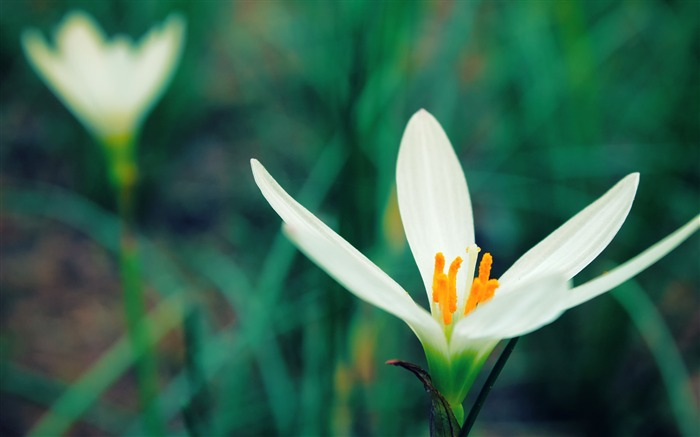 White Crocus Flower-Photo HD Wallpapers Views:2372