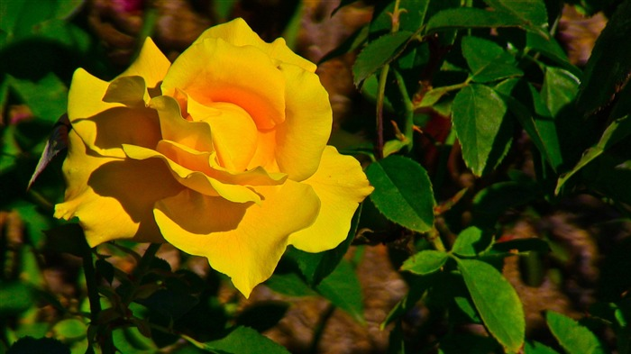 Yellow Rose Flower-Photo HD Wallpapers Views:1298