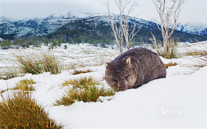 Animal lying in the snow-2015 Bing theme wallpaper Views:1082