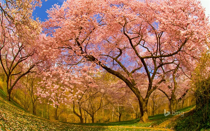 Spring blooming cherry trees-2015 Bing theme wallpaper Views:3729