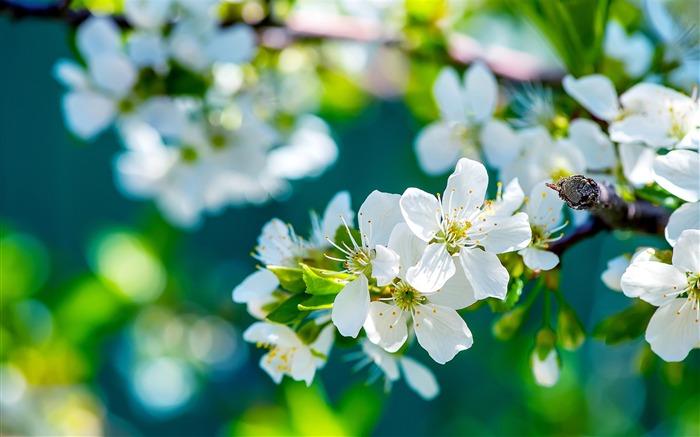 苹果白色的花朵-照片高清壁纸