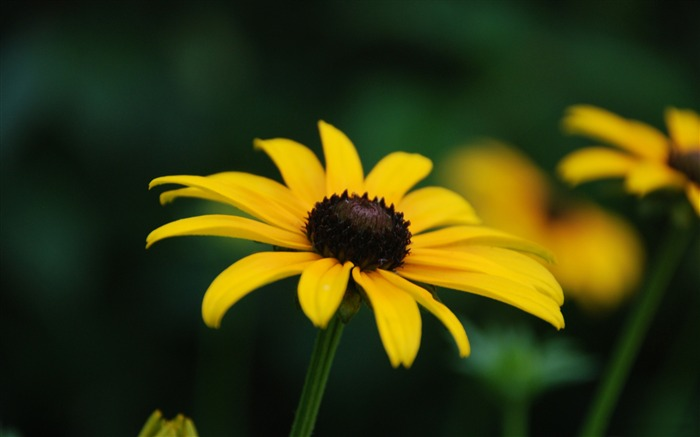 black eyed susan bloom stage-Photography HD wallpaper Views:4087 Date:4/8/2015 8:19:15 AM