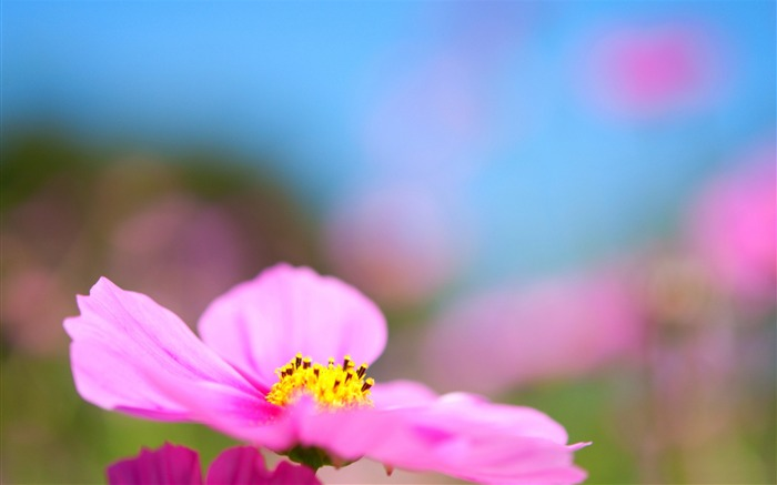 cosmos flower-Photography HD wallpaper Views:4123 Date:4/8/2015 8:20:39 AM