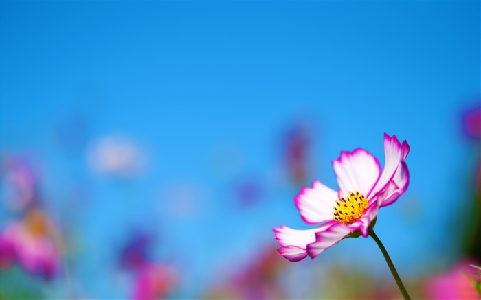 pink cosmos flower-Photography HD wallpaper Views:5129 Date:4/8/2015 8:21:33 AM