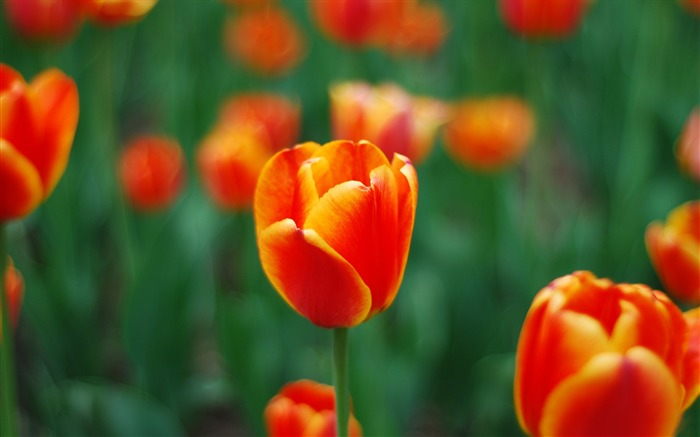 spring red tulip-Photography HD wallpaper Views:4913 Date:4/8/2015 8:33:53 AM