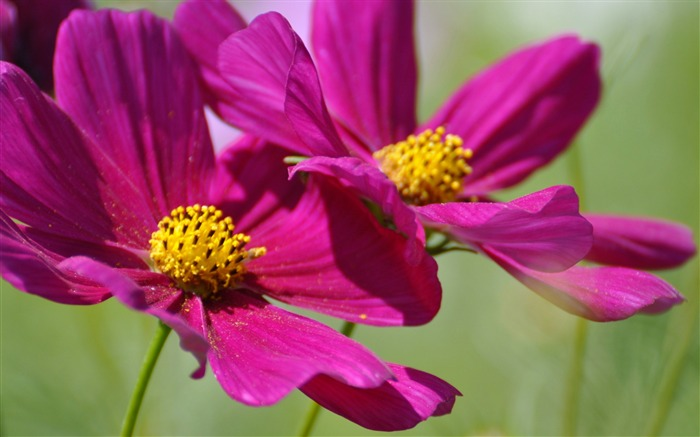 two cosmos flowers-Photography HD wallpaper Views:3221 Date:4/8/2015 8:35:55 AM
