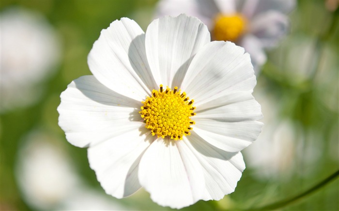 white cosmos flowers-Photography HD wallpaper Views:3867 Date:4/8/2015 8:36:41 AM