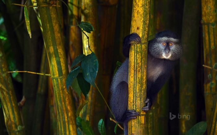 Bamboo baboon-2015 Bing theme wallpaper Views:2575
