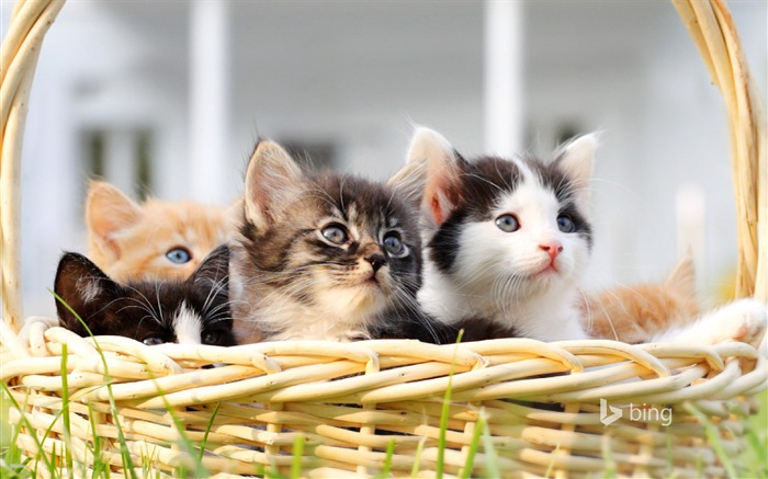 Basket of cats-2015 Bing theme wallpaper Views:1379