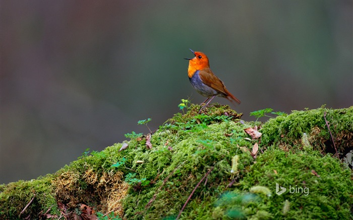 Birds on moss-2015 Bing theme wallpaper Views:3302