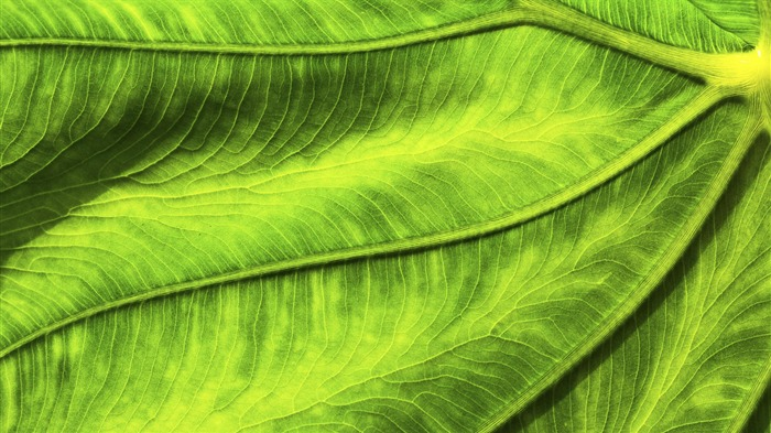 Close-up of green leaves meridians-Windows 10 HD Wallpaper Views:8144 Date:5/24/2015 6:32:23 AM
