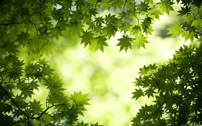 Green Maple Leaves-Windows 10 Wallpaper Views:4026