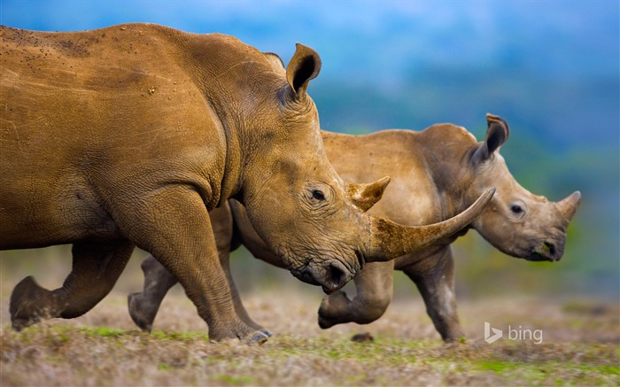 Huge rhino-2015 Bing theme wallpaper Views:2491