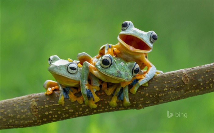 Three tree frogs on tree branch-2015 Bing theme wallpaper Views:1614