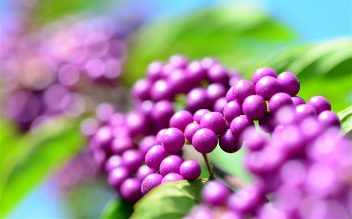 callicarpa berries-High Quality HD Wallpaper Views:1966