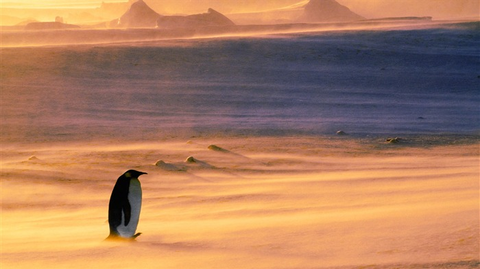 Lonely Penguin-2015 Bing theme wallpaper Views:2802