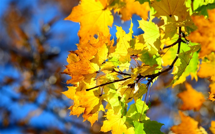 autumn yellow leaves-High Quality HD Wallpaper Views:2056