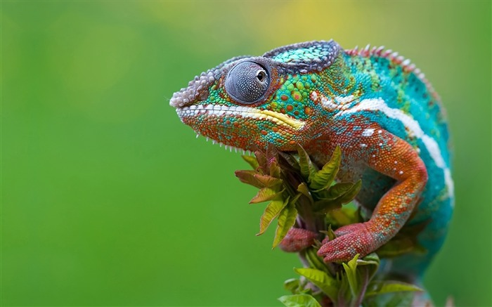 chameleon camouflage-Animal HD Wallpaper Views:1997