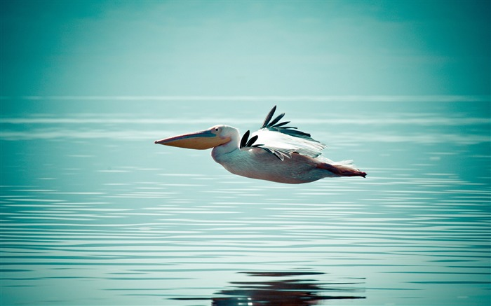 pelican flying over water-Animal HD Wallpaper Views:2189
