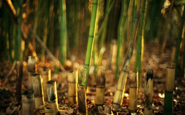 green bamboo-Plants HD wallpaper Views:2187