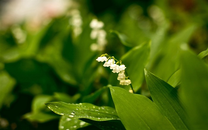 lily of the valley-Plants HD wallpaper Views:2032