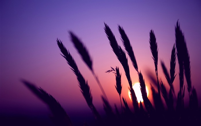 sunset evening wheat-Plants HD wallpaper Views:1513
