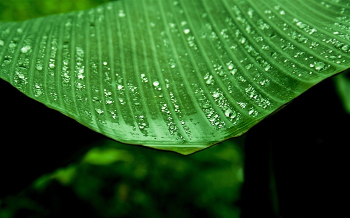 wet banana tree leaf-Plants HD wallpaper Views:1098