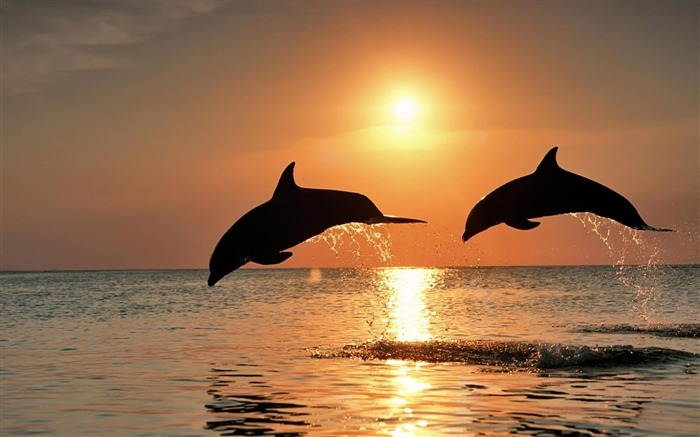 Dolphins jump sunset-Animal HD Wallpaper Views:2161