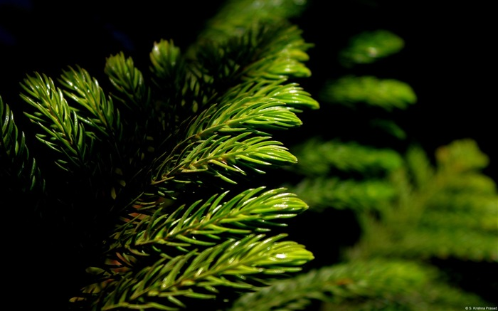 Green pine branches-Windows 10 Wallpaper Views:3131