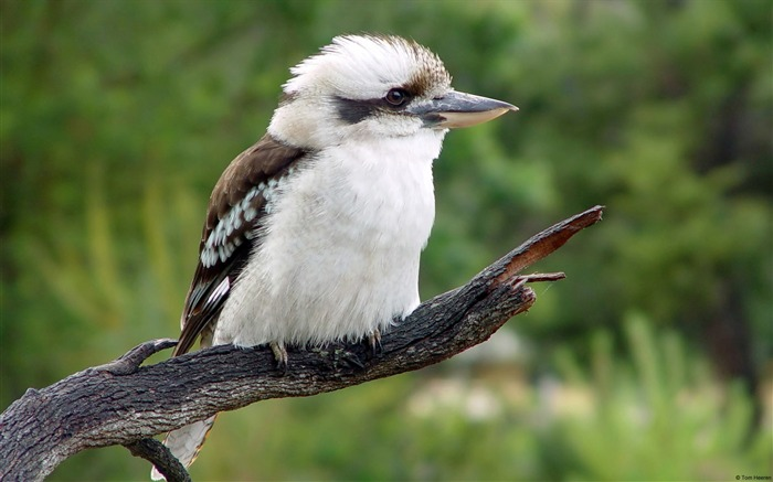 Kookaburra-Windows 10 Wallpaper Views:3702