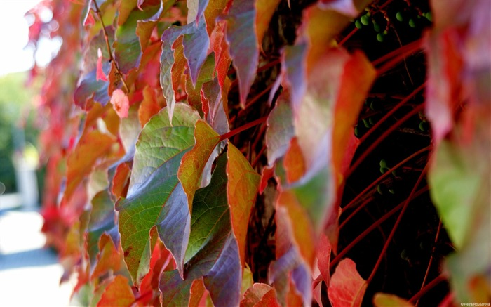 Colorful leaves-November 2015 Bing Wallpaper Views:1594