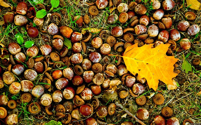 Falling leaves and acorns-November 2015 Bing Wallpaper Views:4404 Date:11/30/2015 9:52:33 AM