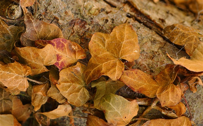 Ivy leaves-November 2015 Bing Wallpaper Views:1765